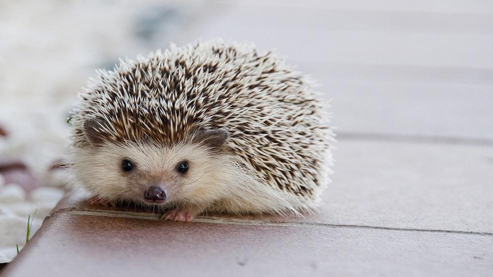 a small hedgehog
