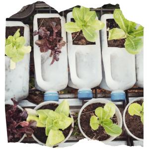 plants growing in empty milk bottles